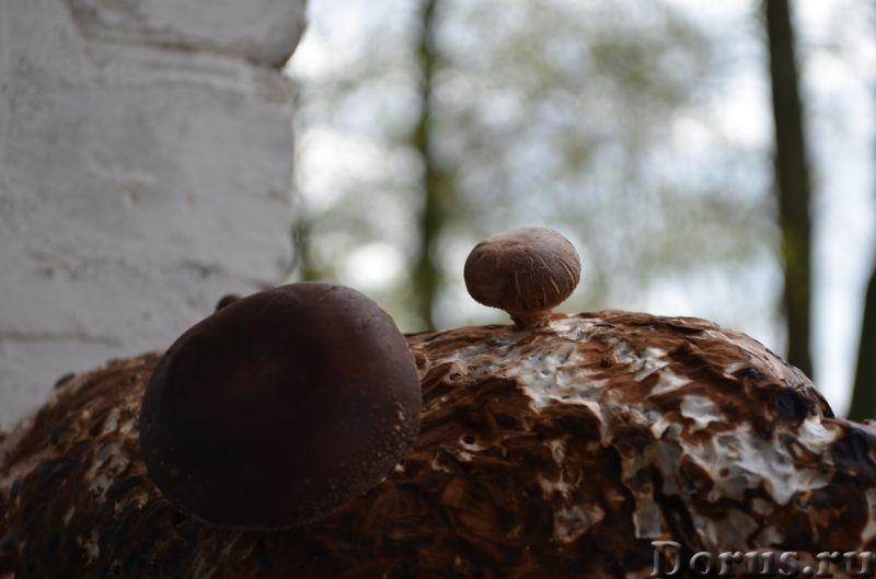 Шиитаке-грибной женьшень - Растения комнатные - Шиитаке вызывает к себе огромный интерес и в наши дн..., фото 3