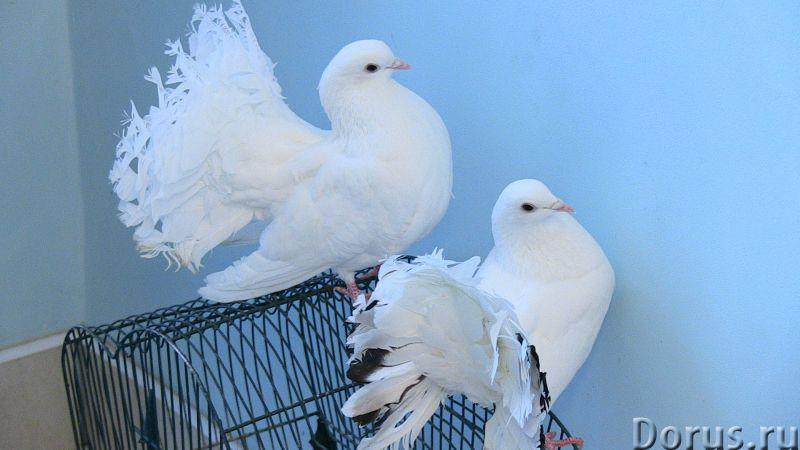 Прокат голубей - Организация праздников - Прокат голубей на Свадьбы,Выпускной вечер школьников, студ..., фото 1